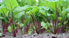 5 tips voor het kweken van rode bieten Diy Garden, Herbs, Plants, Garden, Growing, Veggie Garden, Tuin, Garden Plants, Gardening Tips