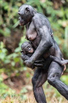 The Bonobo or Pygmy Chimpanzee (Pan paniscus)