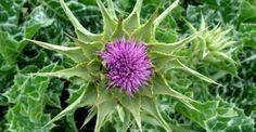 Γαϊδουράγκαθο, ένα βότανο που αποτοξινώνει το συκώτι, κάνει καλό στις δίαιτες, στην μείωση του σακχάρου, αλλά και ως αντίδοτο σε δηλητηριάσεις - http://biologikaorganikaproionta.com/health/199115/