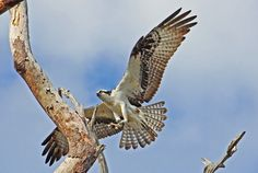 osprey, pandion haliaetus, sea hawk, fish eagle, hh photography of florida, fish hawk, raptor, bird of prey, predator, sea bird, birds,