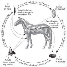 Blood Clots and Aneurysms in Horses: Heart and Blood