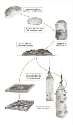 Stages in commercial mushroom production