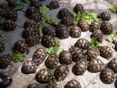 radiated tortoises- Look how many are in that colony...Wow! So adorable!
