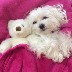 The World of the loveable Shih Tzu Teacup Puppies, Cute Puppies, Cute Dogs, Dogs And Puppies, Doggies, Baby Animals, Cute Animals, Maltese Dogs, Training Your Dog