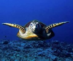 Dive into the waters of West Palm #Beach, #Florida and you might come face-to-face with a hawksbill #turtle.