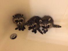 http://ift.tt/2to4cAB trash pandas in a tub