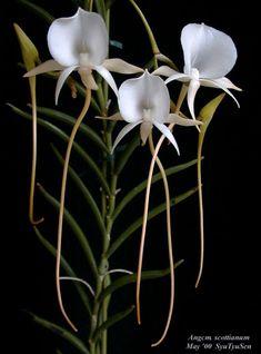 Angcm.scottianum