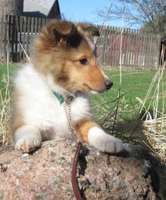 Sheltie Puppies for Sale in Wisconsin, Shakerag Shelties