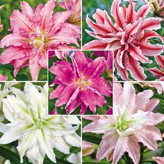 Double Oriental Lily Collection: Sweetheart,Serene Angel, Magic Star, Soft Music, Broken Heart
