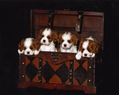 Cavalier Kings Charles Spaniels pup pups in a trunk!❤
