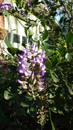 Beautiful winter hardy Texas Mountain Laurel in North Texas garden of Steve Moore.