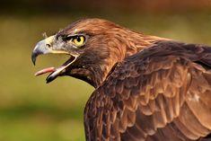 Адлер, Raptor, Хищная Птица, Животных, Покупать