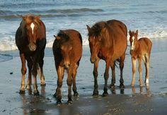 horse horses wild wildhorses foal sea seaside nice cute bay bayhorses