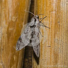 Big gray Moth , Flaying in the night .