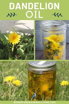 Healing Dandelion Oil - Dandelions are an amazing resource found in nature! Learn how to make an easy dandelion oil to use a - Healing Herbs, Medicinal Plants, Natural Healing, Natural Oil, Holistic Healing, Natural Beauty, Natural Sleep Remedies, Cold Home Remedies, Natural Cures