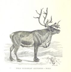 "Image taken from:  Title: ""A Summer in Norway ... Also, an account of the red-deer, reindeer and elk. [With plates, including a portrait.]"" Author: CATON, John Dean. Shelfmark: ""British Library HMNTS 10281.dd.1."" Page: 238 Place of Publishing: Chicago Date of Publishing: 1875 Publisher: Jansen, McClurg & Co. Issuance: monographic Identifier: 000636442  Explore:   Find this item in the British Library catalogue, 'Explore'.   Open the page in the British Library's itemViewer (page image 238)…"
