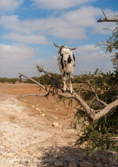 A goat balances on a tree branch