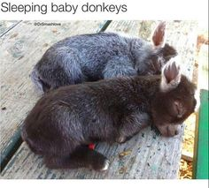there goats not donckys, at least i think not?