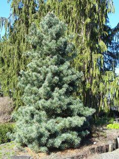 Pinus koraensis 'Silver Ray'