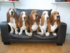 basset hound | Tumblr