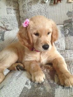 The traits we all adore about the Outgoing Golden Retriever Puppies Cute Baby Dogs, Cute Dogs And Puppies, Cute Baby Animals, I Love Dogs, Doggies, Dogs Golden Retriever, Retriever Puppy, Golden Retrievers, Female Golden Retriever