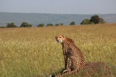 Taken in the Masai Mara a pregnant female cheetah sits on a mound keeping an eye out for prey. Kenya, Cheetah, Instagram Feed, Panther, Female, Nature, Photography, Travel, Animals