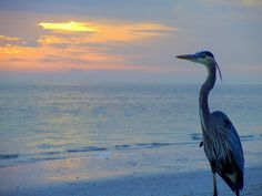 great blue heron images - Google Search