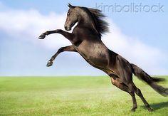 Black Morgan Stallion Rearing In Pasture - Kimballstock HOR 01 MB0182 01