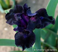 Bad Intentions Dark red-black self with dark violet-brown beards. Ruffled and fragrant. Brown Flowers, Iris Flowers, Cut Flowers, Garden Projects, Garden Ideas, Black Garden, Purple Garden, Dwarf Iris, Iris Rhizomes