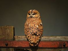 Tawny Owl Roosting