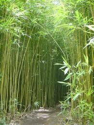 El mundo del bambú  A lo largo de los siglos, en las montañas de persistentes brumas del centro de China, el bambú ha crecido en el hábitat del oso panda. Siempre se han formado espesuras de cañas prácticamente impenetrables, por donde el oso panda se mueve sin embargo como pez en el agua. En ese mundo, el panda encuentra refugio y una comida previsible que no tiene que cazar ni ir a buscar. Además, en su hábitat apenas hay competidores y muy pocos y ocasionales depredadores.