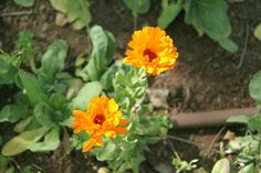 Yellow-Orange Garden Flowers