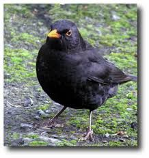 Image result for blackbird song Blackbird Song, Garden Birds, Songs, Type, My Love, Animals, Image, Animales, Animaux