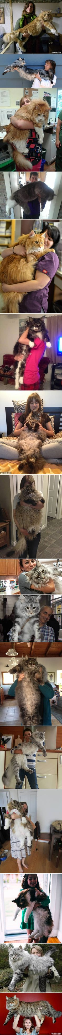 16 Massive Cats Who Make Their Humans Seem SO Small