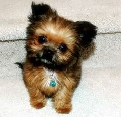 Baby doll a tiny outstanding shorkie puppy photo by ShorkieWorld