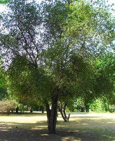 Patagua, (Cinodendron Patagua)