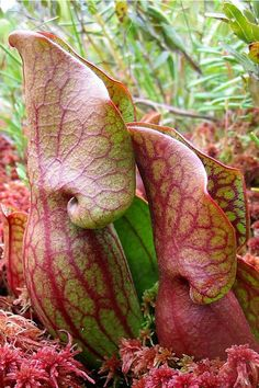 Every year I make a trek to a bog in Chelsea, MI to see these pitcher plants. Spring came early this year and I missed them.