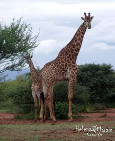 Photo by helenamarais More Images, Nature Reserve, Wildlife, Community, World, Pictures, Animals, Giraffes, Photos