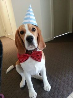 Birthday Beagle Beagles T Beagle Dog And Animal