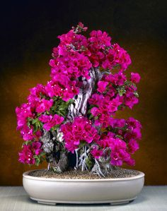 I love bougainvillea!! Bonsai bougainvillea would be awesome