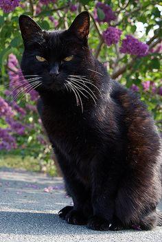 black cat - chat noir - gato negro // Jaz