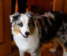 #aussie #australianshepherd #shepherd #dog #nurse #pet #ourgirl #good #obedient #clever #careful #fuzzy #curious