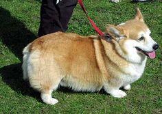 pictures of corgi dogs | Free Jpeg Image of Corgi Dog