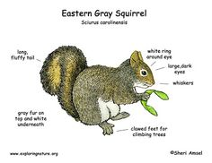 Eastern gray squirrels are found in hardwood and mixed forests as long as there are trees that produce nuts. Description from exploringnature.org. I searched for this on bing.com/images