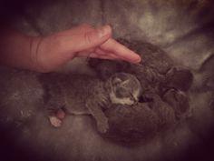 So little #catsofinstagram #cats_of_the_world #cuties #instagood #fluffy #bsh #britishshorthair #catlover