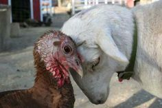 12 Reasons You May Never Want To Eat Turkey Again: http://freefromharm.org/animal-cruelty-investigation/12-reasons-you-may-never-want-eat-turkey-again/