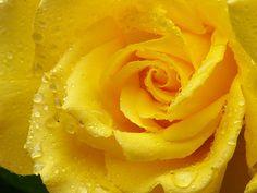 rose wallpaper, 2048x1536 (339 kB)