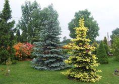Picea pungens 'Maigold' in the front. Świerk kłujący 'Maigold' z żółtymi przyrostami.