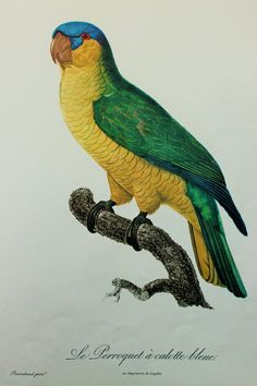 Blue Capped Parrot Tropical Bird Print by Jacques Barraband on Good Quality Art Paper