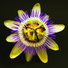 Image: A single vivid-colored Passiflora, also known as passion flowers. (© Andy Kerry/Eye Ubiquitous/Corbis)